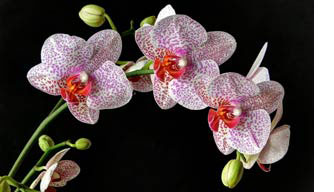 28th Anniversary Orchids